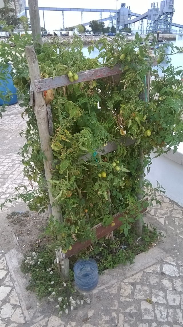 Saw this collection of tomatoes growing along side the street in Trafaria, Portugal. Pick your own...