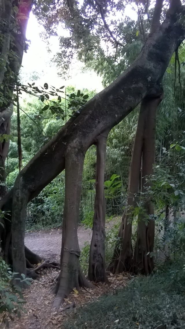 I found this tree fascinating; not sure of what it is, but it has developed a useful technique of growing its own buttresses as it extends its branches...