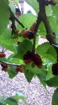 Mulberries now in fruit
