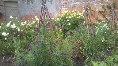 Sweet peas on the 'wigwams'