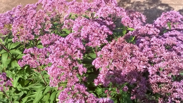 Eupatorium ('Joe Pye Weed')- one of those latin names...
