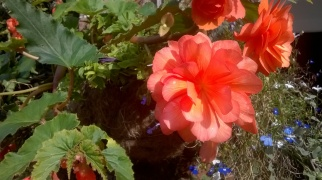 Begonia in hanging basket