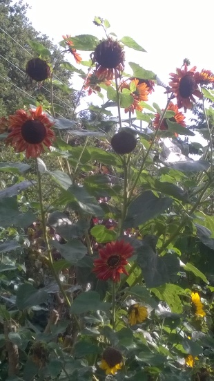 Sun flowers in the kitchen garden