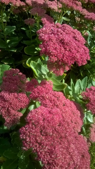 Sedum- the 'Chelsea chop' worked well on these