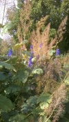 Macleya and Aconitum