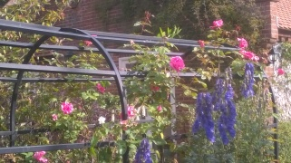 rose tunnel putting on another flush with Aconitum alongside