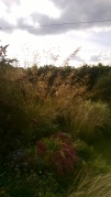 Stipa gigantea and friends