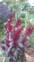 Amaranthus 'Fox Tail'