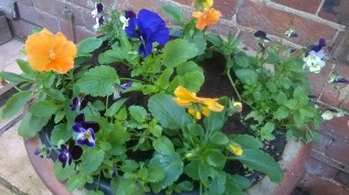 Pansies and violas will give us some winter colour