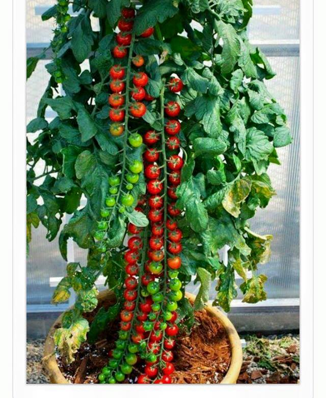 Necklace Cherry Tomatoes