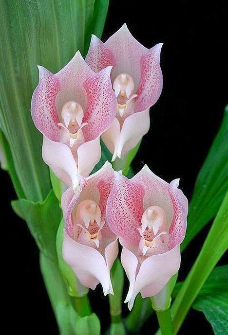 praying angels orchids