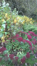 Autumn colour...Sedums, Cornus...