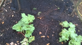 Rhubarb mulched with manure...
