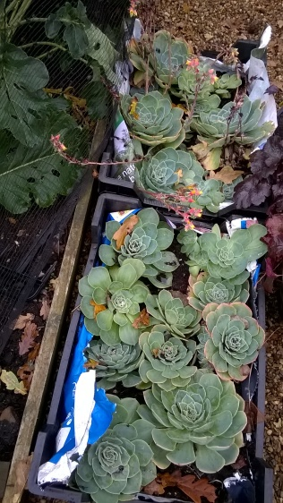 ..with things like these Echeveria.