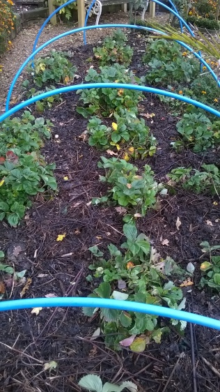 Strawberries, and other fruit, with compost