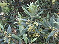 Olive flowers and foliage- picture by Sputnikcccp