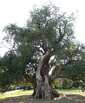 A gnarled old olive- picture by Roberta S.