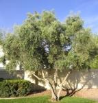 big-olive-tree