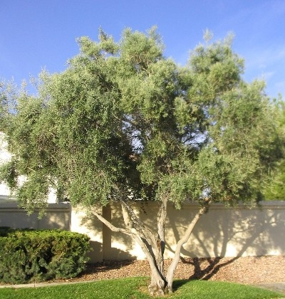 An Olive Tree in a garden setting