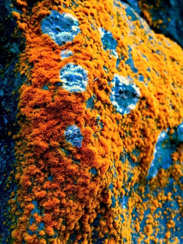Caloplac flavorubescens - picture Yoshihiro Ohno