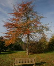 Form and autumn colour- picture by Barcham Trees