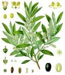 Olea_europaea_-_Köhler–s_Medizinal-Pflanzen-229
