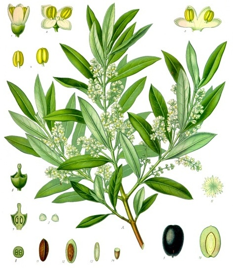 Olive characteristics from the Kohler Medicinal Pflanzen