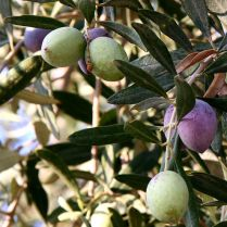 olive fruits- picture by Nick Fraser