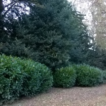 under control for now, rhododendrons and other under stoey shrubs soon encroach on the tree-lined avenues...