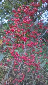 Crab apple well laden