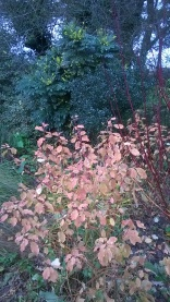 Cornus beginning to reveal its colurful stems with Mahonia in flower