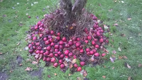 Oops! These Red Delicious apples fell before they could be harvested...I've not been diligent enough this year!