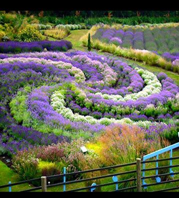 Lavender swirl- possibly the Yorkshire Lavender Garden?