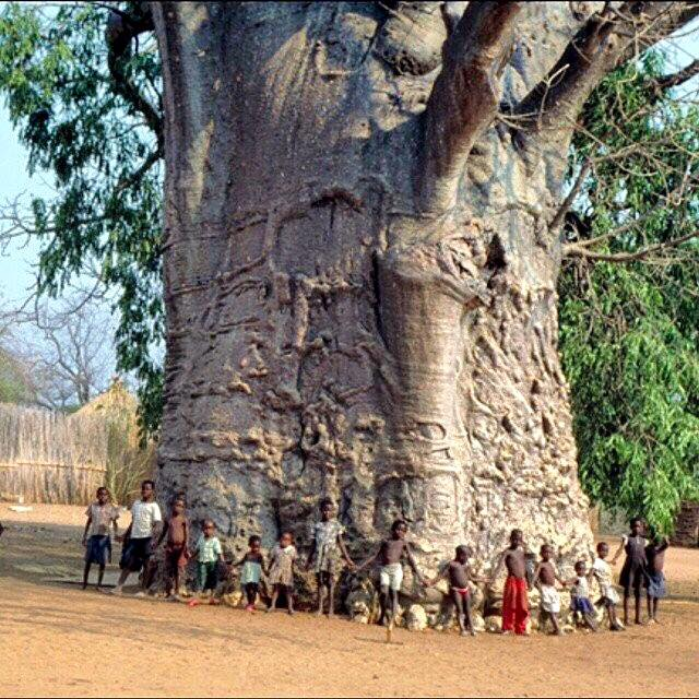 A Baobab Tree- probably 2000 years old