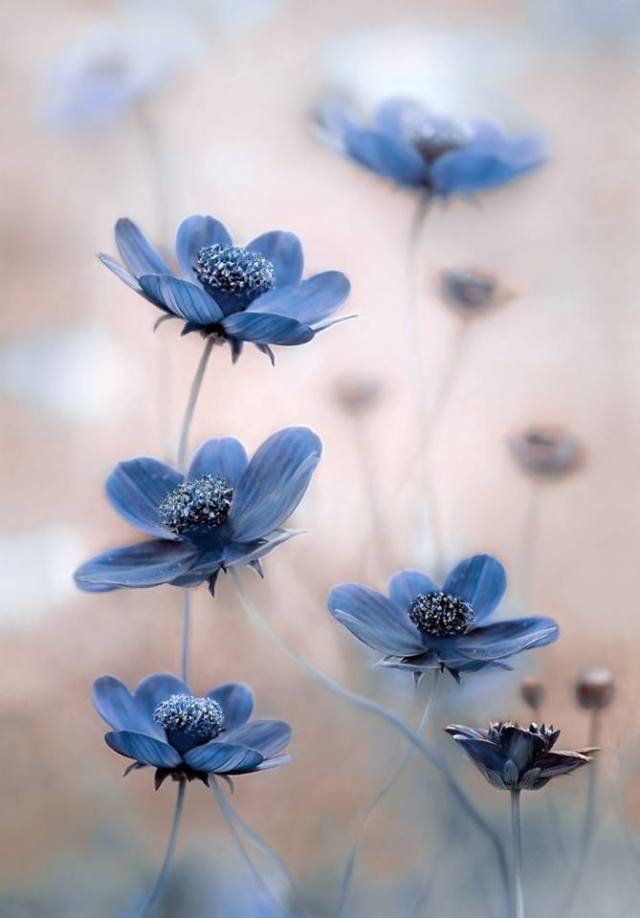 Blue Cosmos. Picture by Bonanza