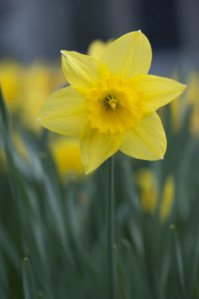 Narcissus 'California' growing in March at Cotehele, Cornwall.