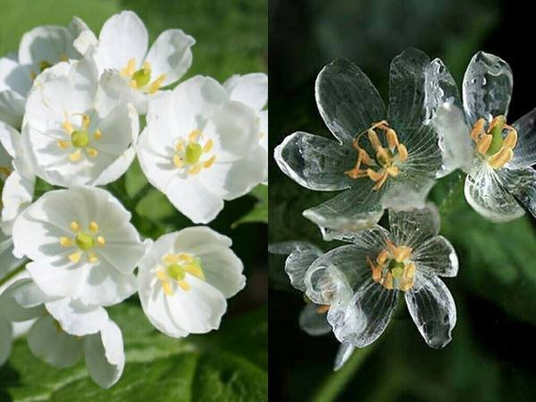 Diphylleia grayi or the Skeleton Flower- it's early blooms gradually disappear under rainfall