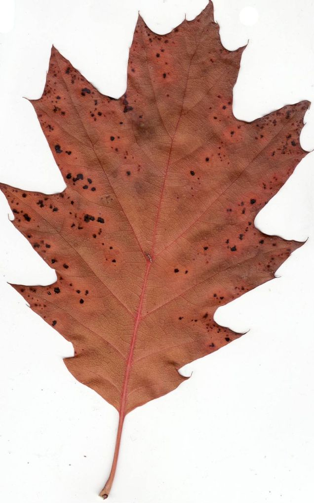 Red Oak, autumn leaf. Picture by ninjatacoshell