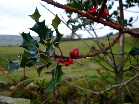 Holly in the North York Moors - copyright Kirsty Brown, NYMNPA