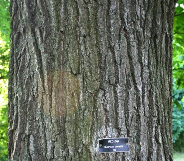 Bark of the Red Oak- picture by Pollinator