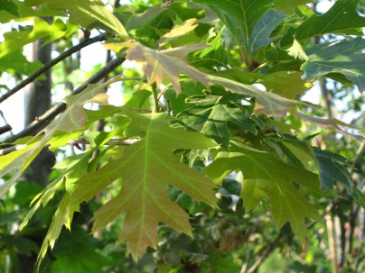 Red Oak, young foliage