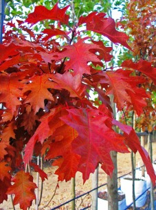 Red Oak, autumn foliage