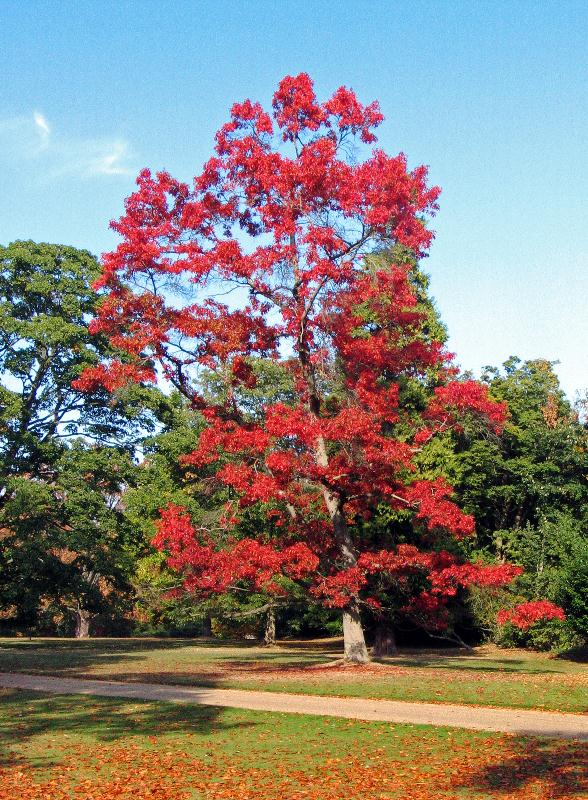 Mature Red Oak, autumn foliage