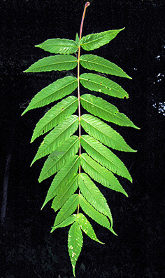 Leaf of Rhus typhina