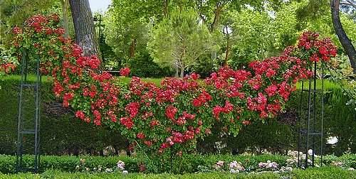 rose-garden-climbers