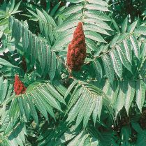 Leaves and fruiting head of Rhus typhina