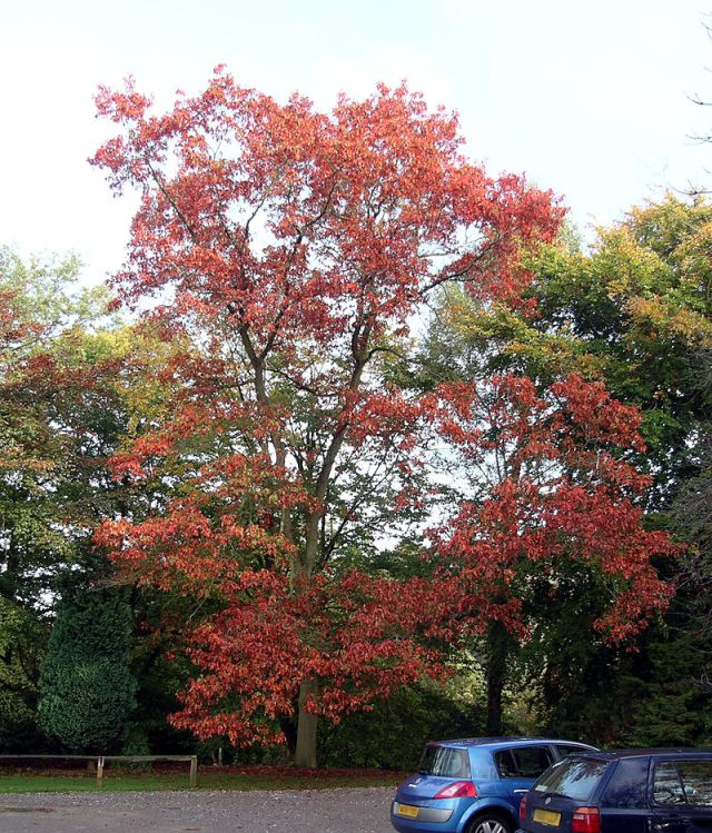 Red Oak specimen Tortorth Arboretum. Picture by Velela