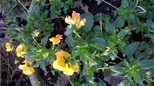 Violas starting to pick up