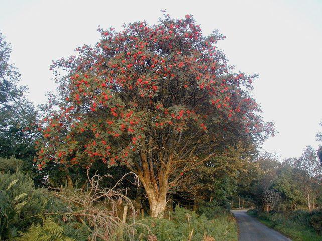1280px-Rowan_tree_20081002b by Eeno11