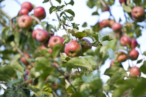 Apples growing in the orchards at Killerton, Devon. The apples are collected and made into cider, using a traditional cider press, by volunteers.